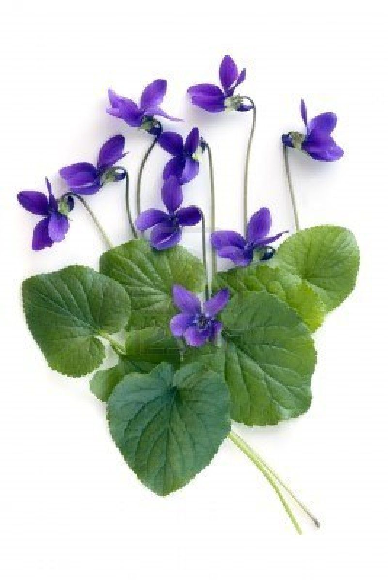 Violets And Leaves Over White Background Violet Flower Purple Flowers Flower Painting