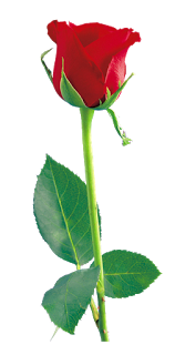 Red Rose Png Flower Image Free Download From S Hanstudiokadayanallur Blogspot Com I Hope My Blog Post You Like Red Ro Red Rose Png Dark Red Roses Red Roses