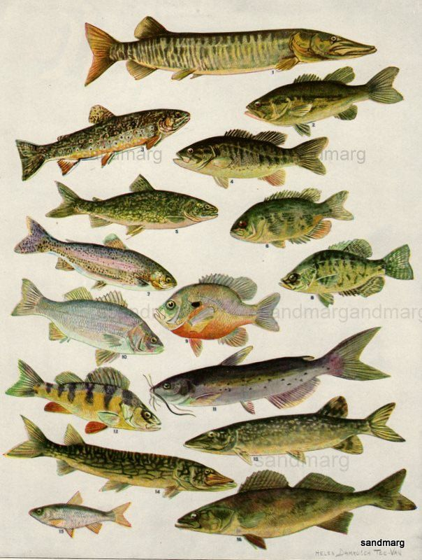 Vintage 1923 fish print double sided lithograph butterfly for North american freshwater fish