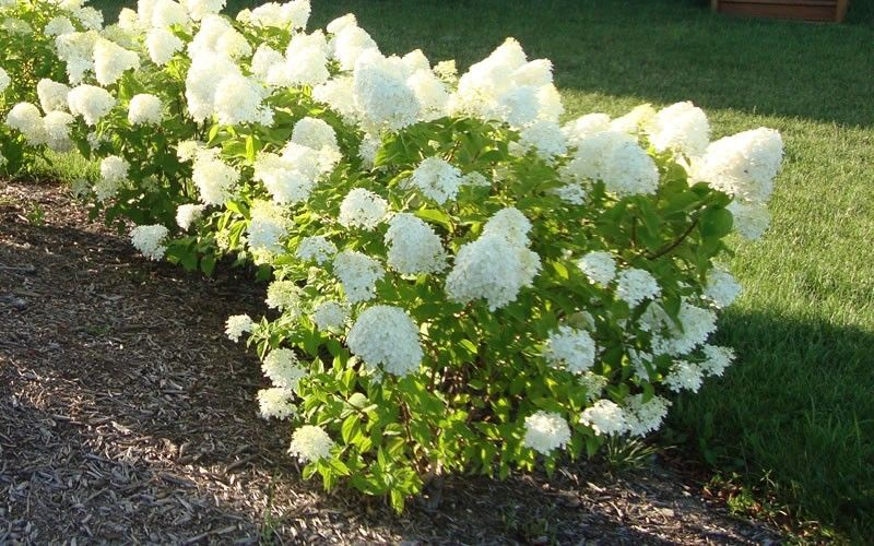 Dr Dan S Garden Tips The Range Of Hydrangea Little Lime Hydrangea Hydrangea Landscaping Limelight Hydrangea