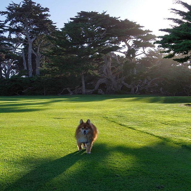 #happy #pommy #traveler #enjoying #pebblebeach #golfcourse #california #ca #pomeranian #pom #puppyoftheday #pet #dog #instadog #doglife #pomlife #pic #picture #photography #photo #podroze #travel #outdoor #landscape #nature #naturelovers #golfer #golf #montereylocals #pebblebeachlocals - posted by Puszek Puszynski https://www.instagram.com/pommy_walker - See more of Pebble Beach at http://pebblebeachlocals.com/