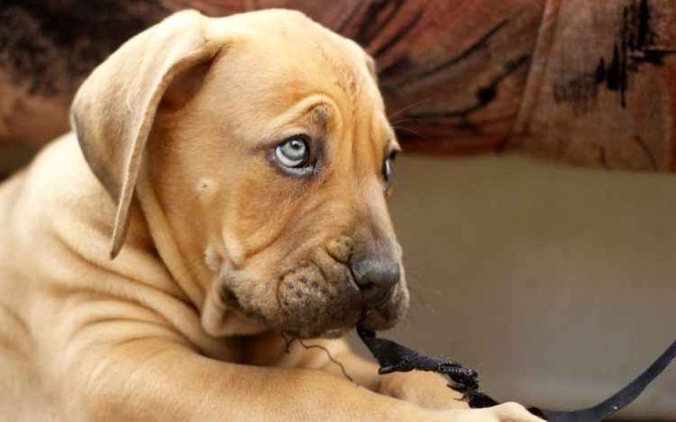 10 Things You Didn T Know About The Boerboel Dogs Cute Dogs Easiest Dogs To Train