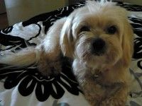Missing Maltese X Lhasa Apso Tallebudgera Valley Qld 4228 Losing A Dog Losing A Pet Lhasa Apso