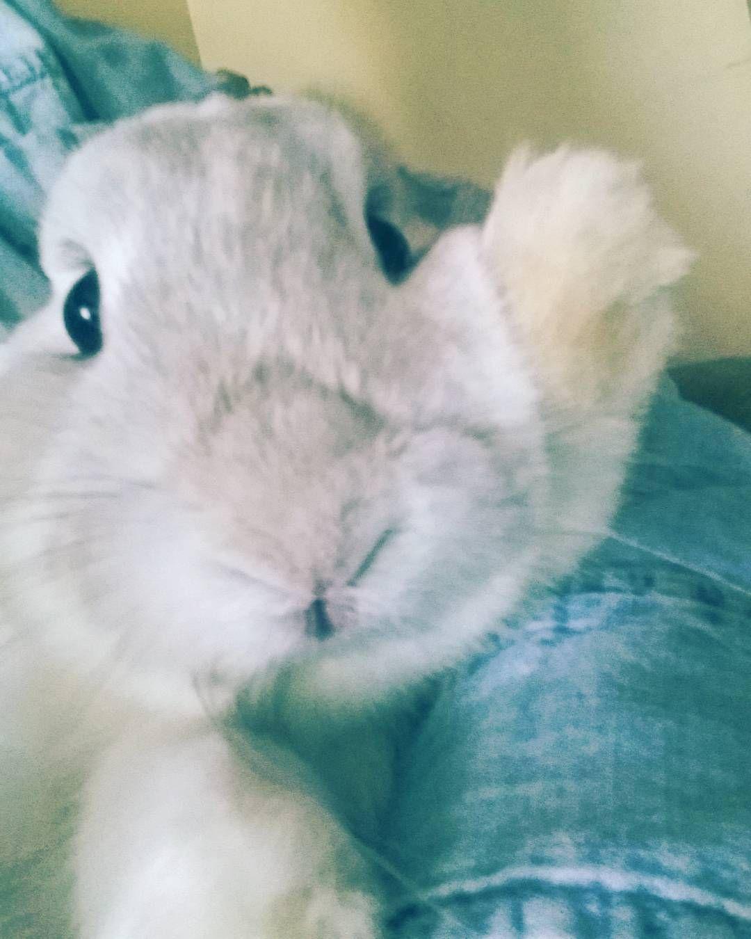 #rabbitsofinstagram #bunniesofinstagram #rabbitstagram #bunstagram #houserabbitsofinstagram #houserabbit #hollandlop #floppyearredbun #bigbaby #bunnylove #rabbitmom #sugar #sugeknight #rabbits #bunny #bunnystagram  by lovelee_28