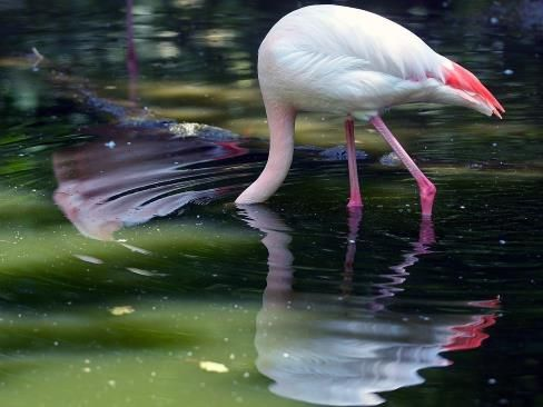 A flamingo ducks its head into a pool of water in Germany