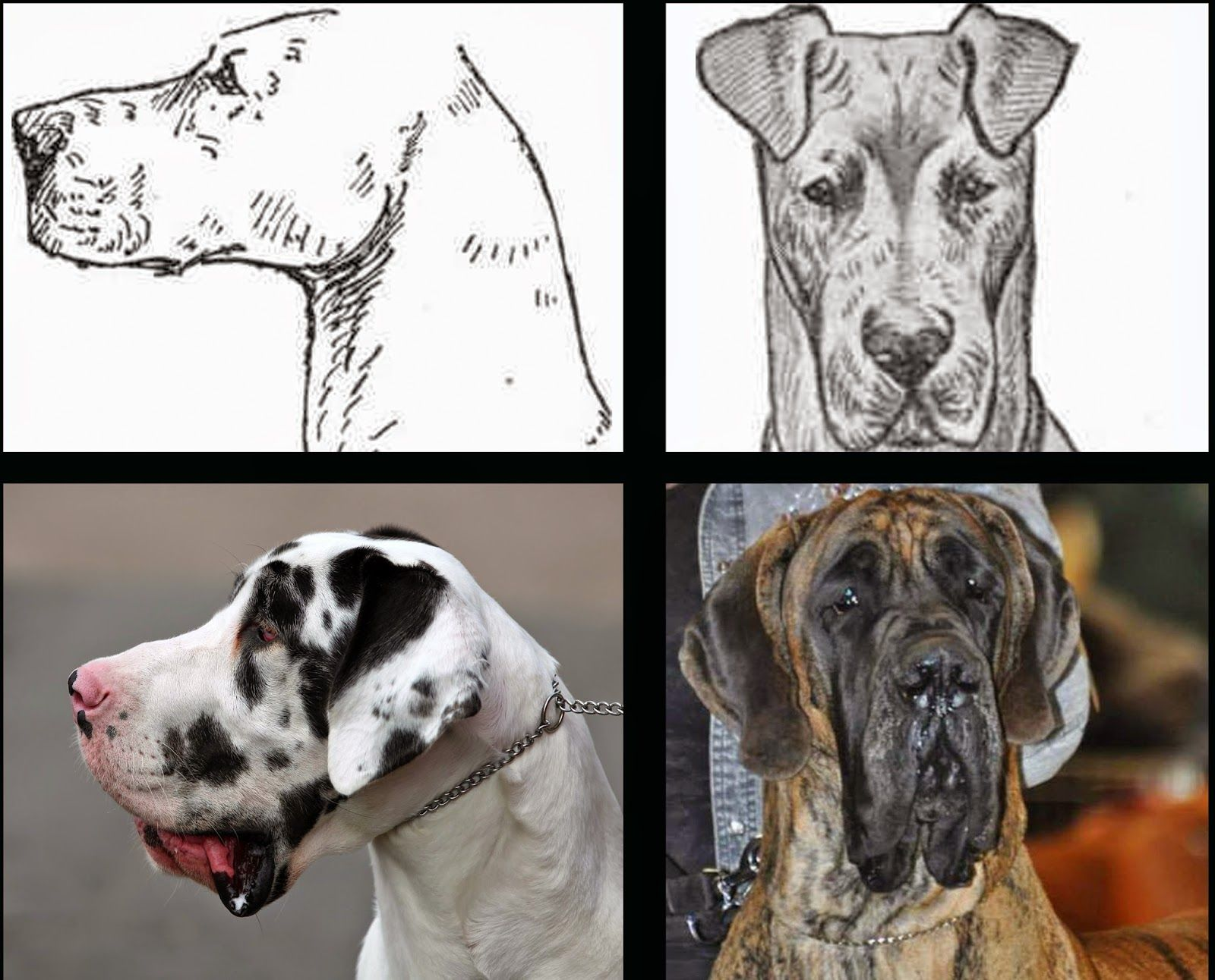 Pedigree Dogs Exposed The Blog The Demise Of The Great Dane