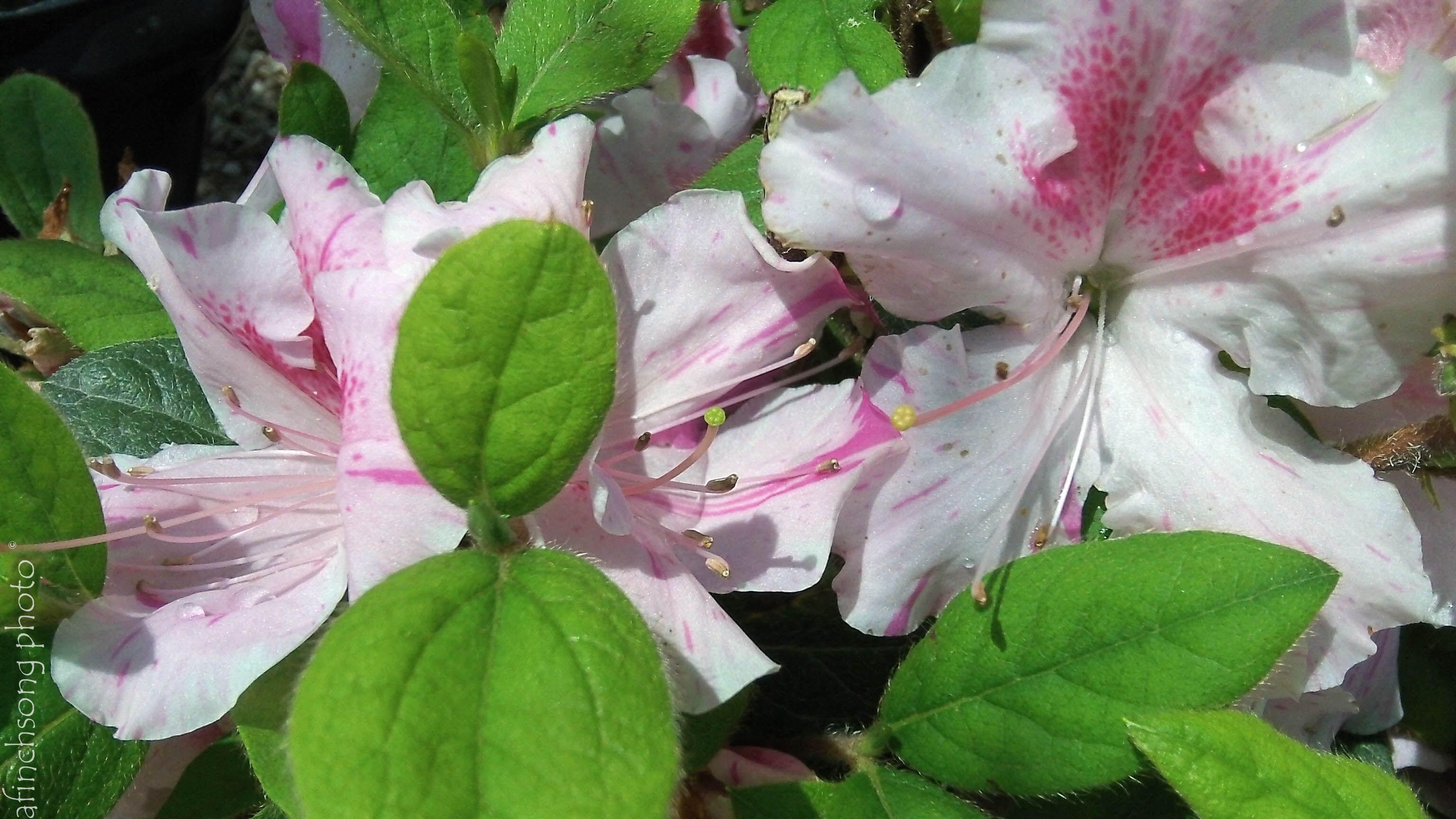 Azalea X Conlep Autumn Twist Encore Azalea Flowering Evergreen Part To Full Sun 10 Year Size 5 Hx4 W Upright Rounded Bloom Azalea Flower Azaleas Flowers