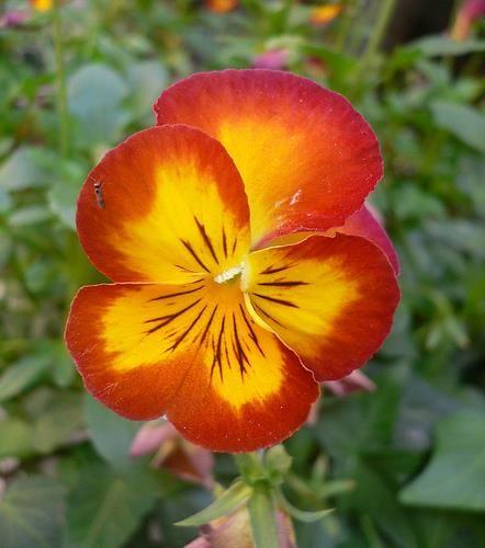 Pansies Pansies Flowers Types Of Flowers Pansies