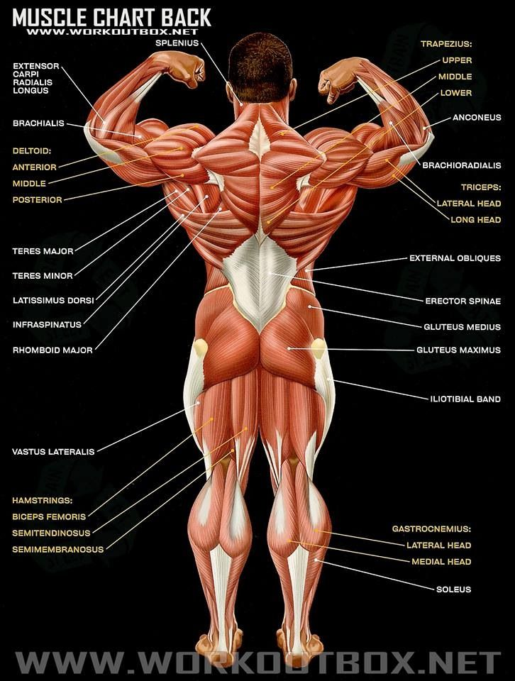 muscle chart back | gym!!! | pinterest | muscles and workout, Cephalic Vein
