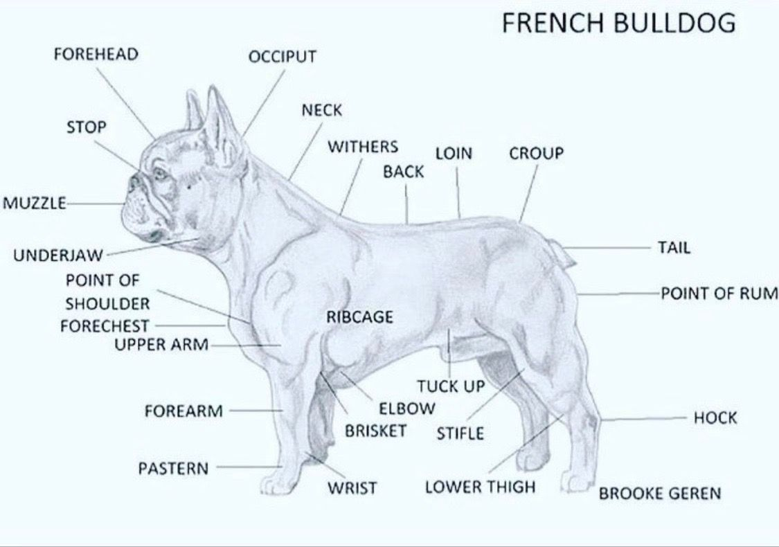 Pin By Shaune Vucina On Frenchies Dog Beach French Bulldog Dogs