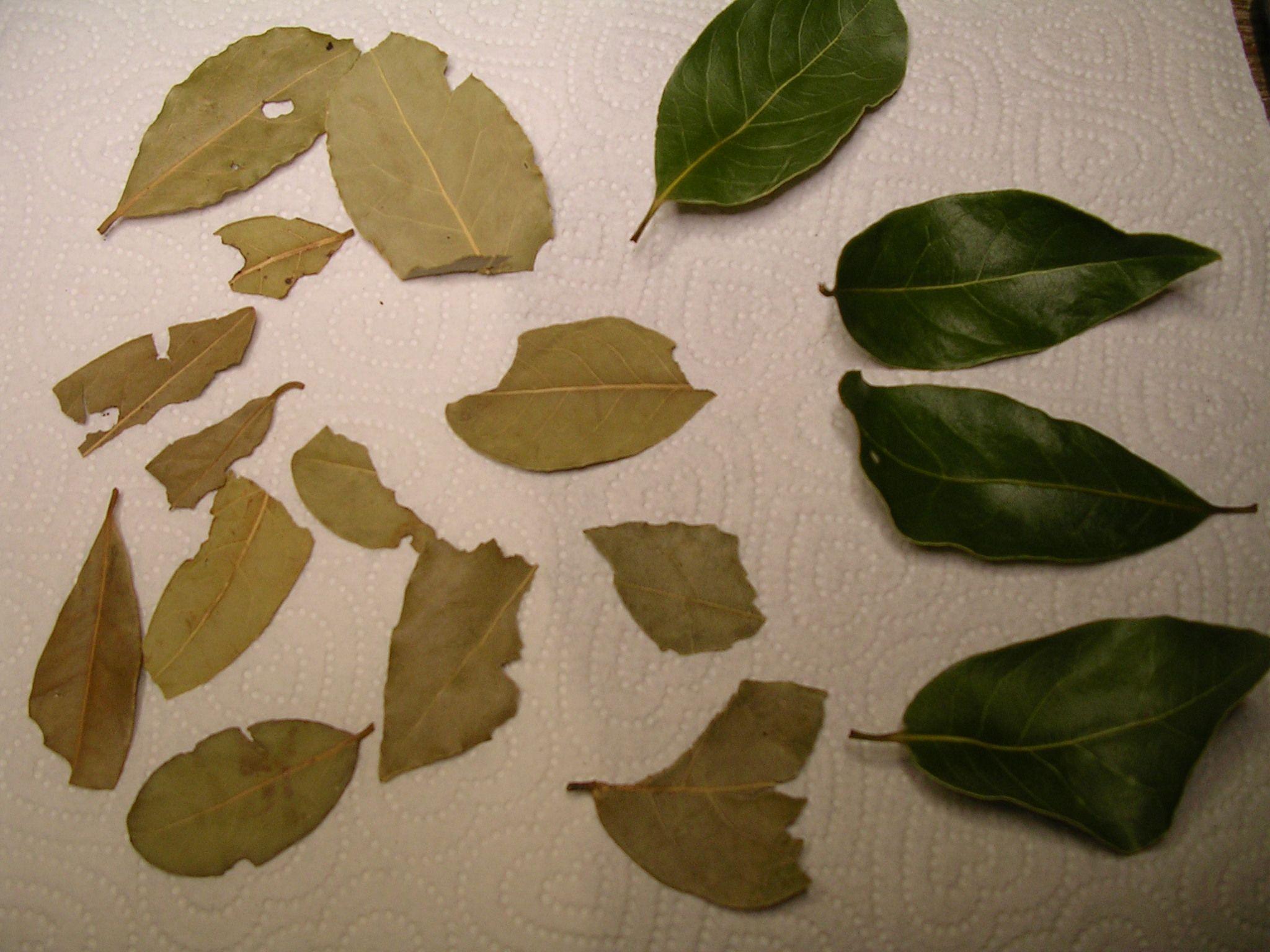 Bay Leaf—Weekly Weeder #39 - Common Sense Homesteading | Bay leaves ...