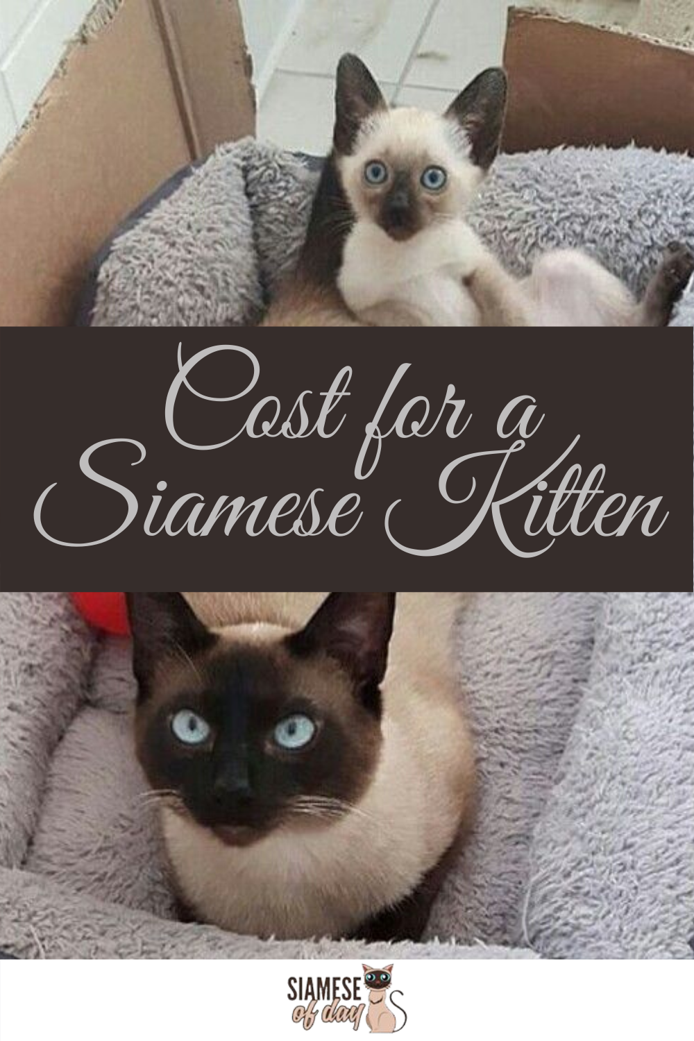 How Much Do Siamese Cats Cost in 2020 Siamese kittens