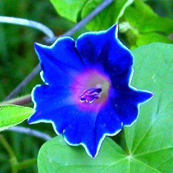 This Japanese Morning Glory Is Dazzling Kikyo Zaki Blooms Star Shaped Colbalt Blossoms Outlined In White Morning Glory Flowers Garden Vines Beautiful Flowers