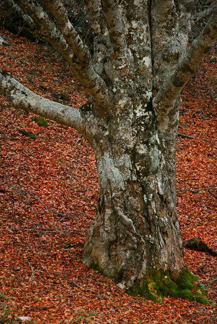 Hayedo:Montejo de la Sierra