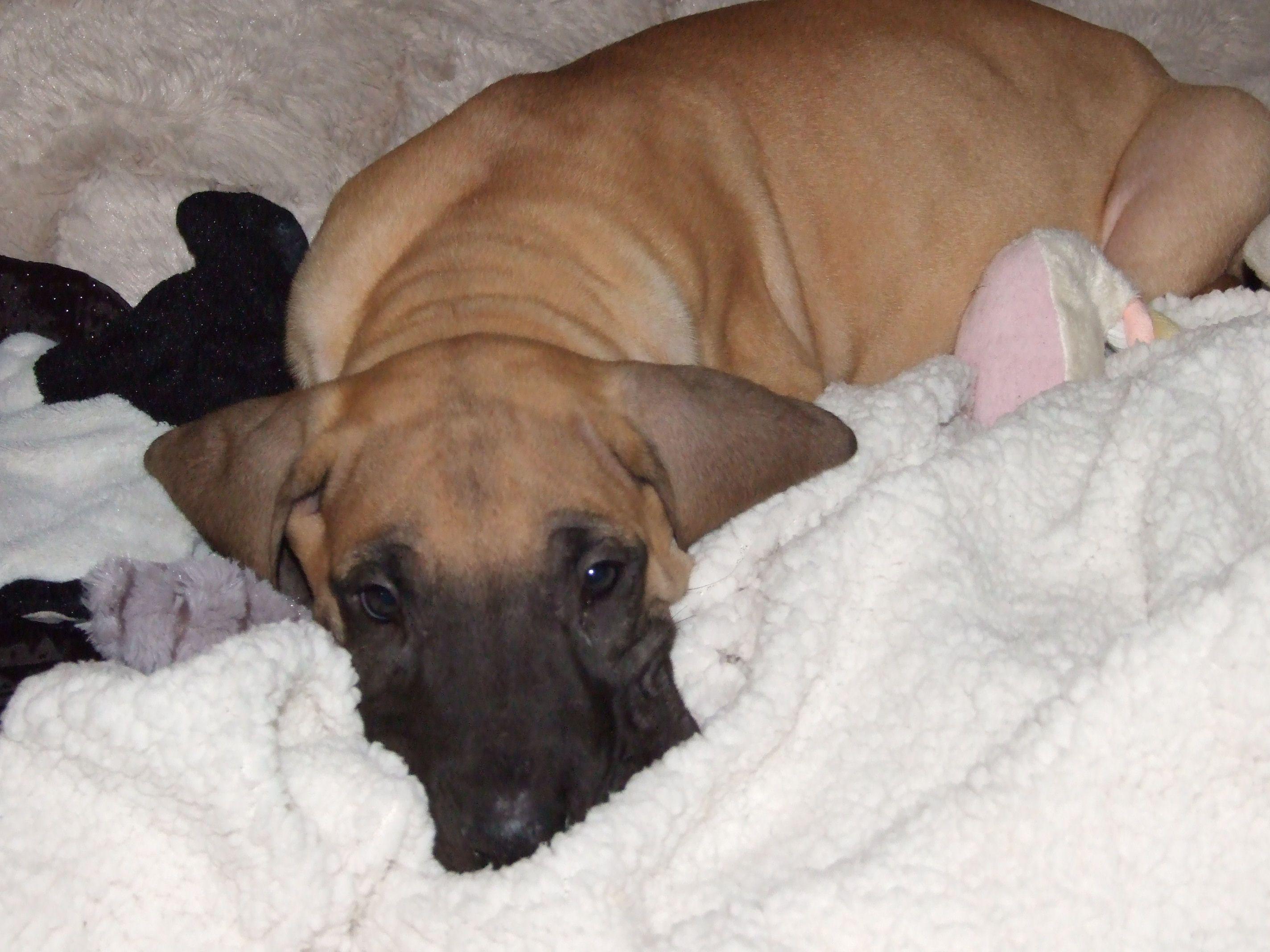 8 Week Old Fawn Great Dane Puppy Great Dane Puppy Great Dane