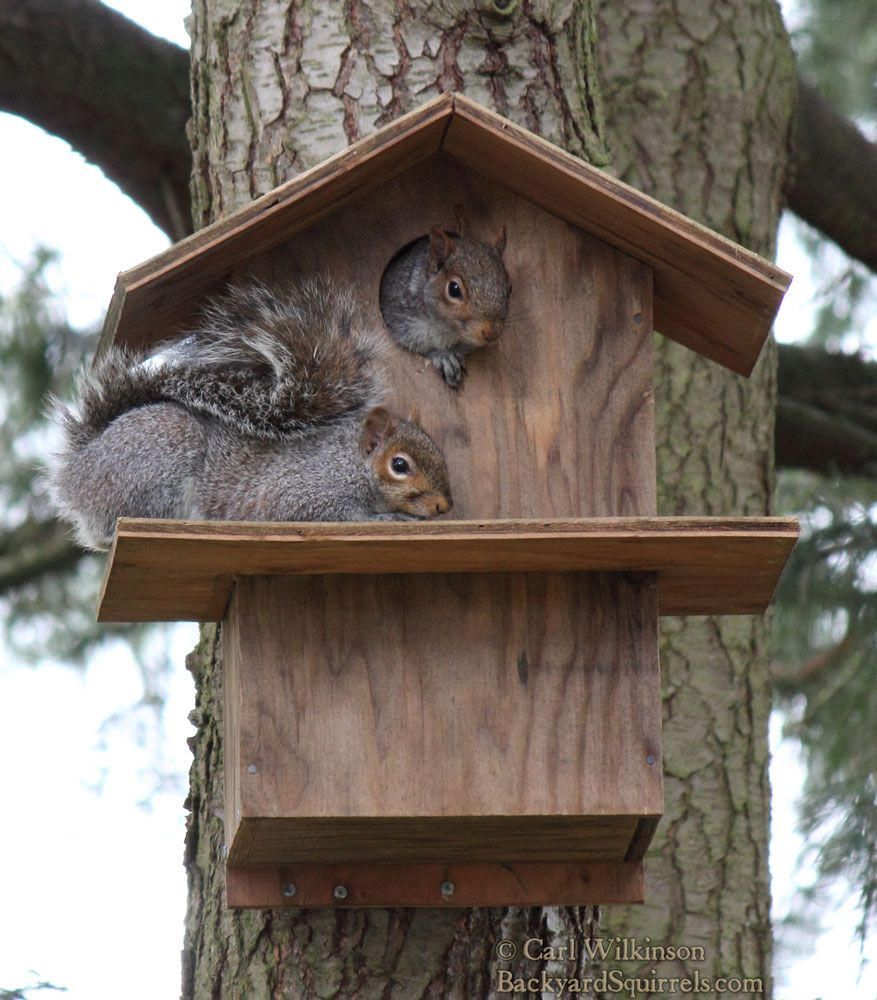 Swell Two Squirrels Enjoying Their Squirrel House One Inside And Beutiful Home Inspiration Ommitmahrainfo