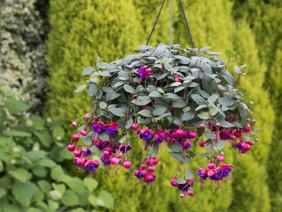 Dark Eyes Fuchsia Hangingbasket Flowersallsummerlong Garden Plants Flowers Hanging Plants Fuchsia Plants