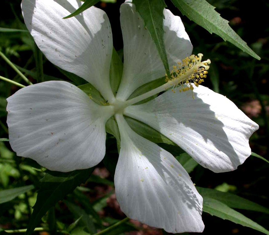 Rare White Texas Star Hibiscus Unusual Flowers And Plants
