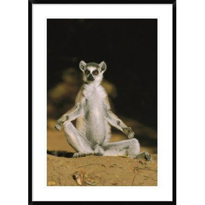 "Global Gallery 'Ring-Tailed Lemur Sunning' Framed Photographic Print Size: 42"" H x 30"" W x 1.5"" D"