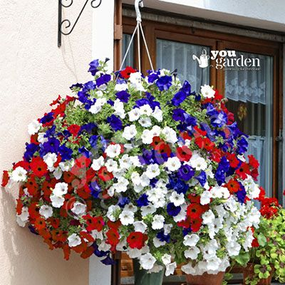 Patriotic Petunia Surfinia Collection x 18 plugs | Gardening ...