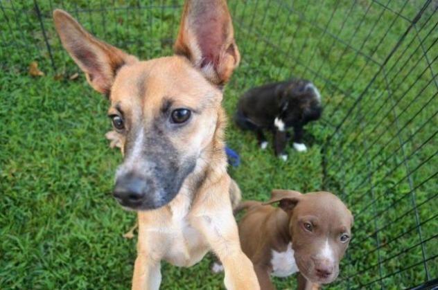Robbie Dog Fox Terrier Chihuahua Young Male Medium Miami Animal Alliance Inc Miami Ok Fox Terrier Animals Animal Shelter