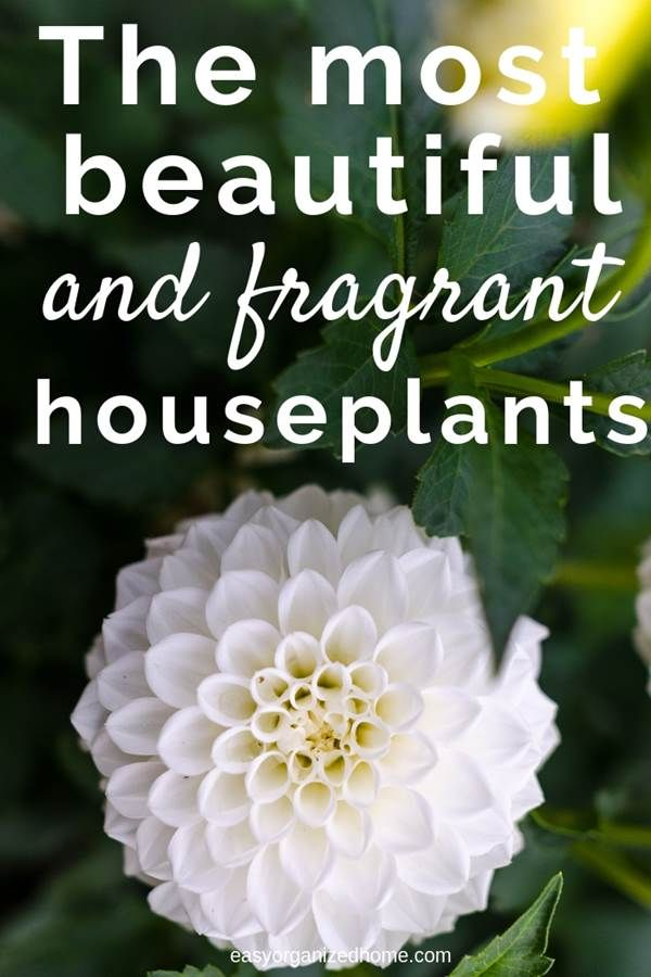 How To make Your House Smell Good With Fragrant Indoor Plants
