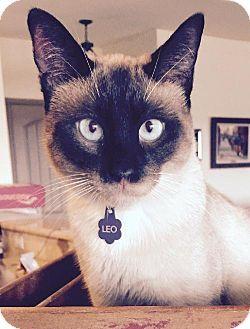 Mckinney Tx Siamese Meet Leo A Cat For Adoption Cat Adoption Kitten Adoption Cats