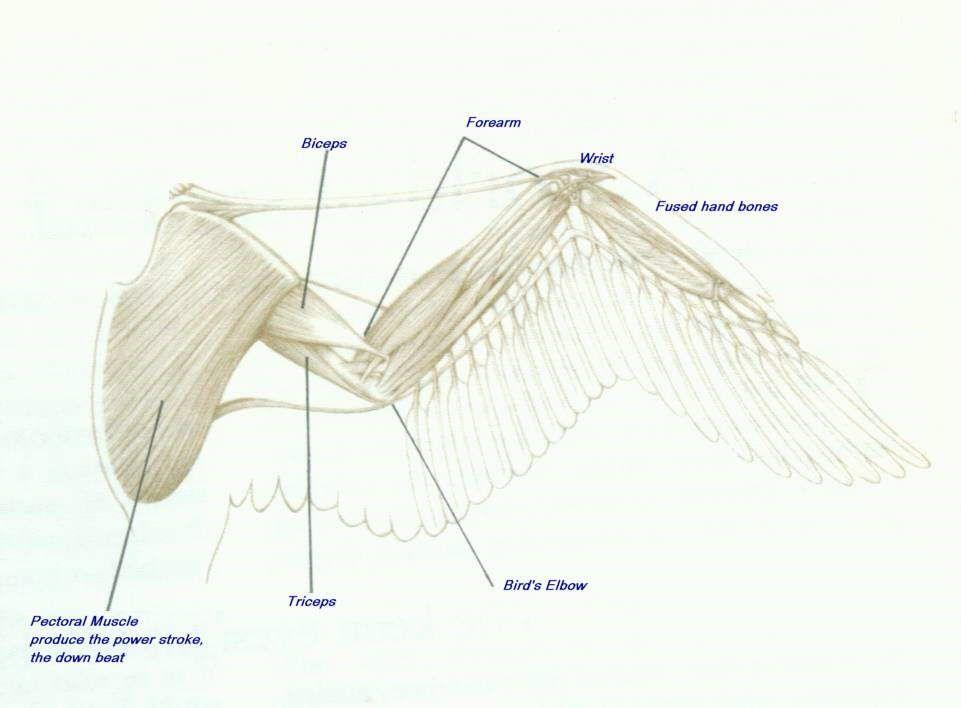 bird wing muscles - google search | birds | pinterest | wings, Muscles