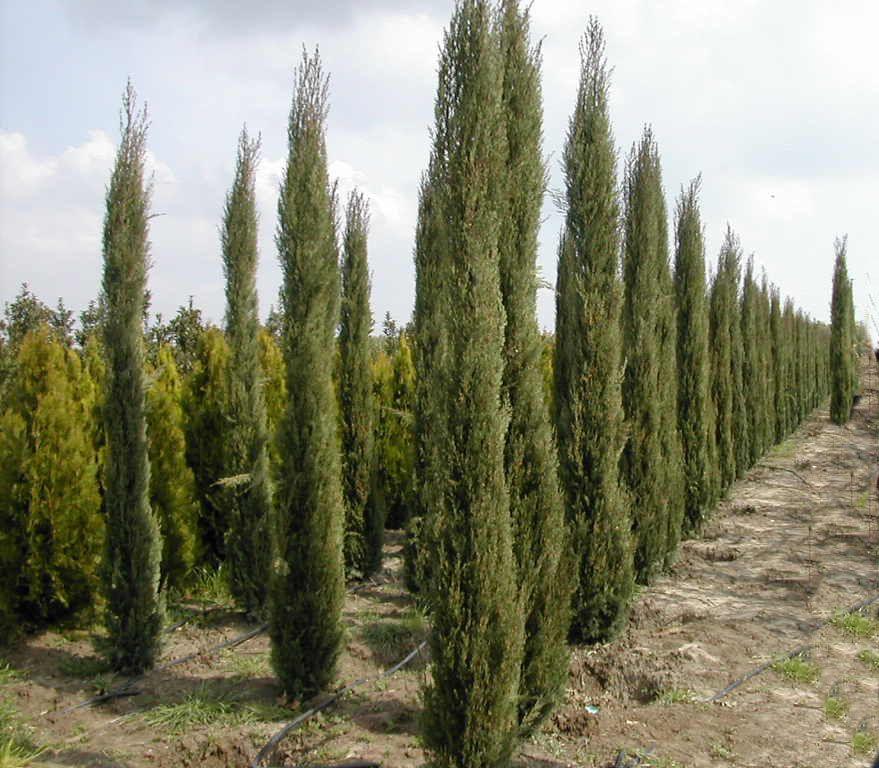 Cupressus Sempervirens 39 Glauca 39 Conifer Italian Cypress
