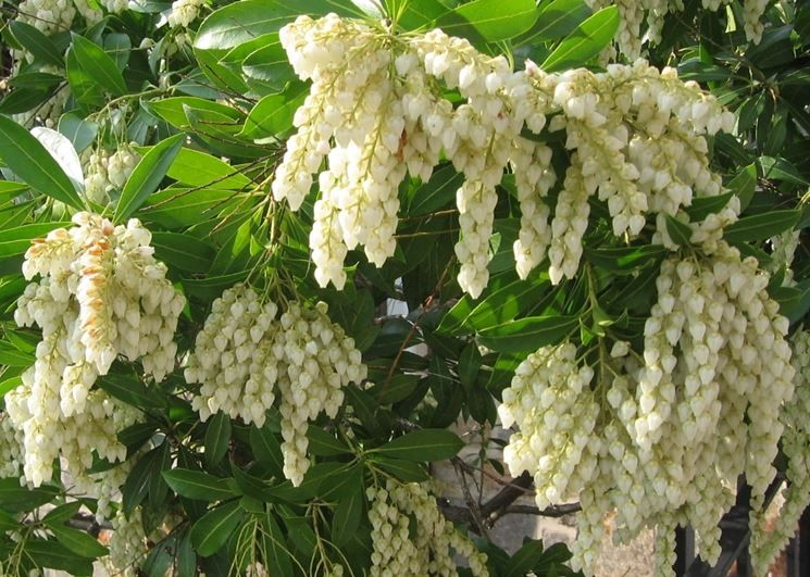 Pin Di We Garden Too Su Pieris Alberi Arbusti Sempreverdi