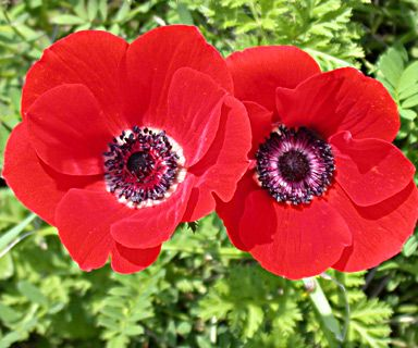 Anemone The Beautiful Wind Flower Tips And Legends Hubpages Anemone Beautiful Flowers Prayer Garden