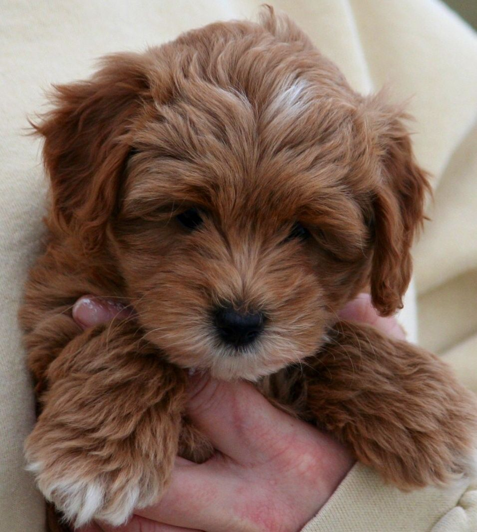 Lucy a first generation back cross goldendoodle at 6