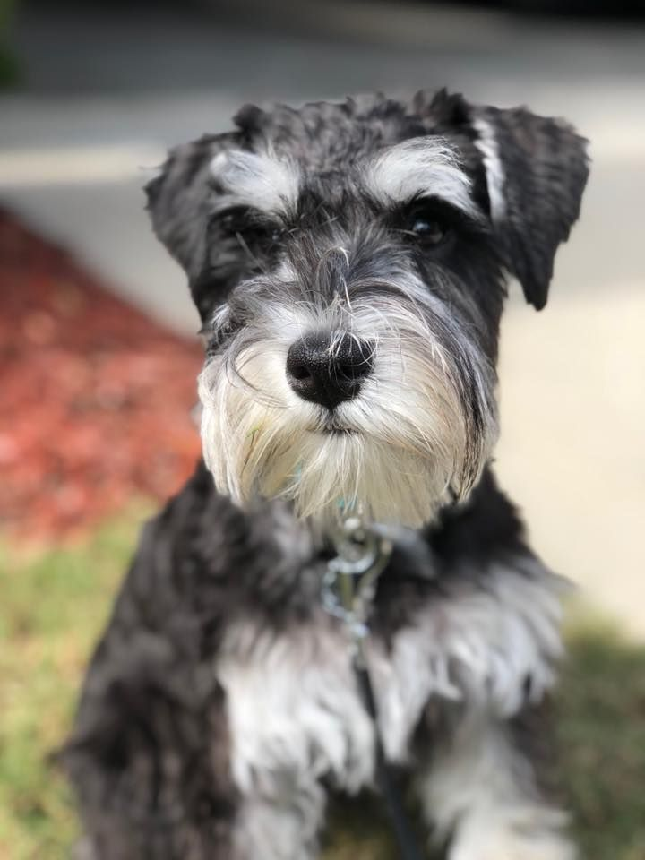 This Is Our Maggie She Ll Be 5 Months Old Next Week We Are Crazy In Love With Her Miniature Schnauzer Puppies Your Dog Dogs
