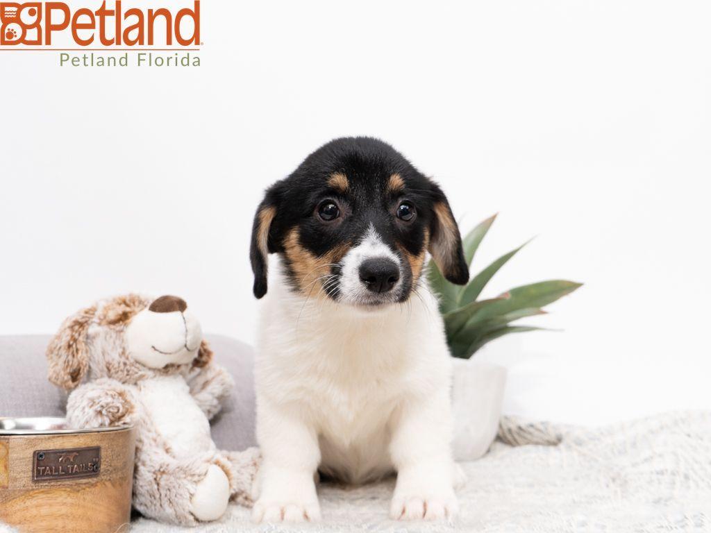 Petland Florida has Pembroke Welsh puppies for sale