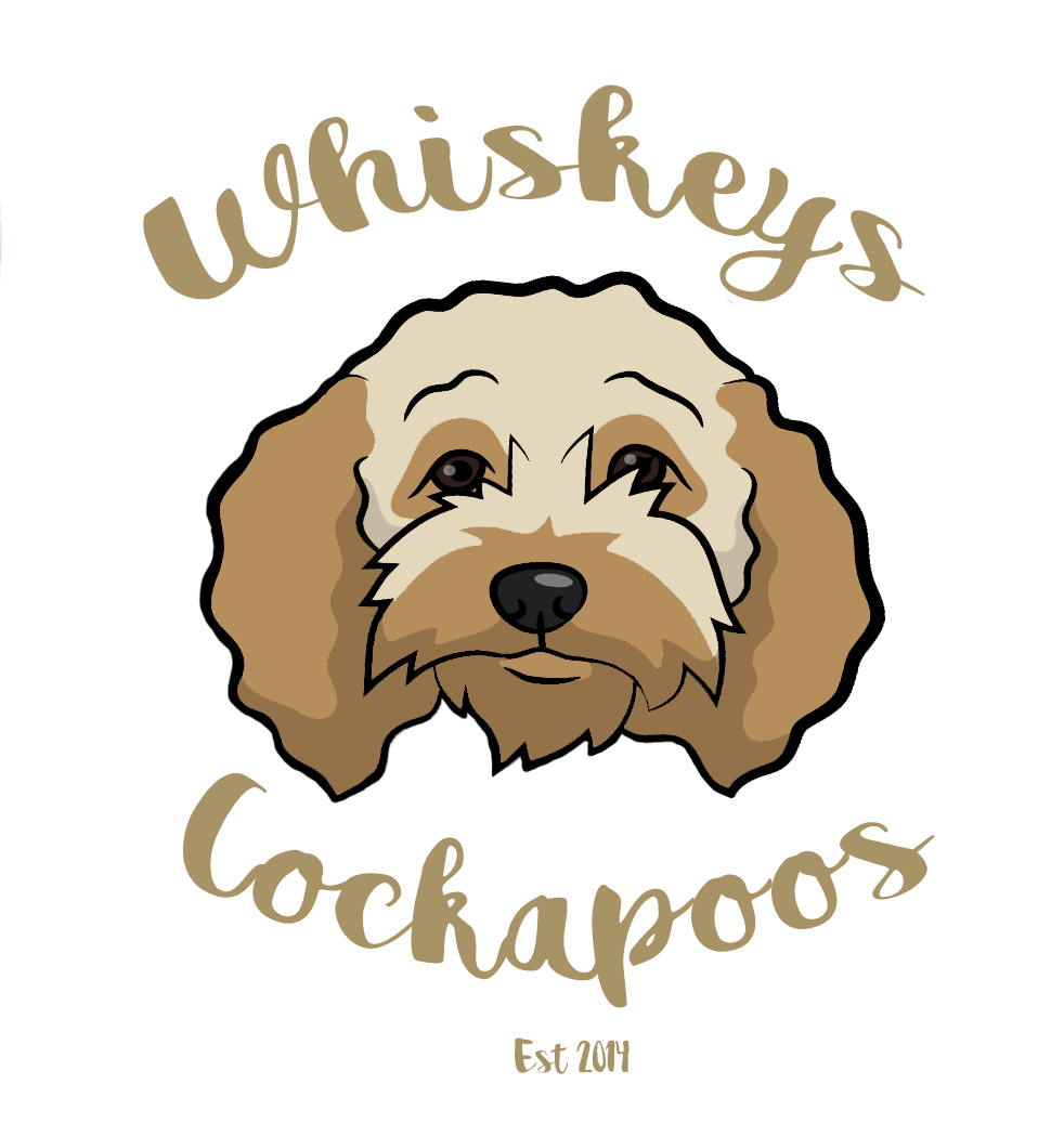Whiskeys Cockapoos Seem Ethical And Breed F2s Sometimes Get Smooth Coats Cockapoo Critter Animals