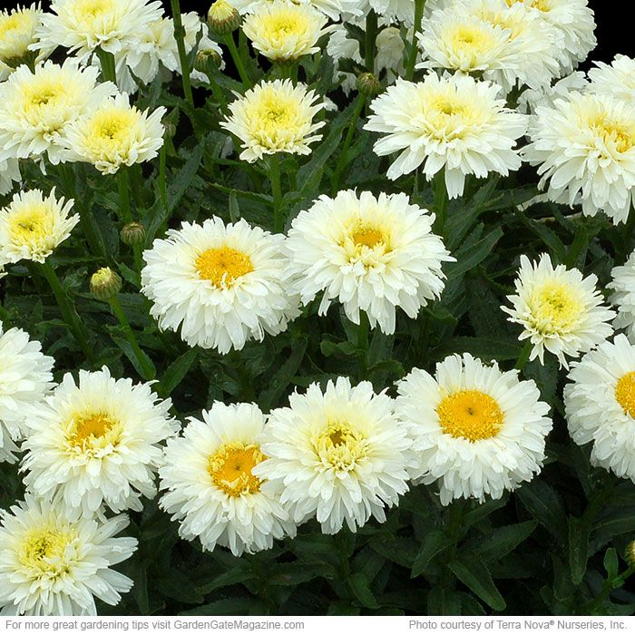 Check out 4 of 2016's best new perennials and a shrub you could win!  'Macaroon' Shasta daisy (Leucanthemum)