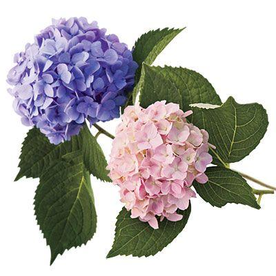 Gardening 101 French Hydrangeas Fleurs Peinture Broderie