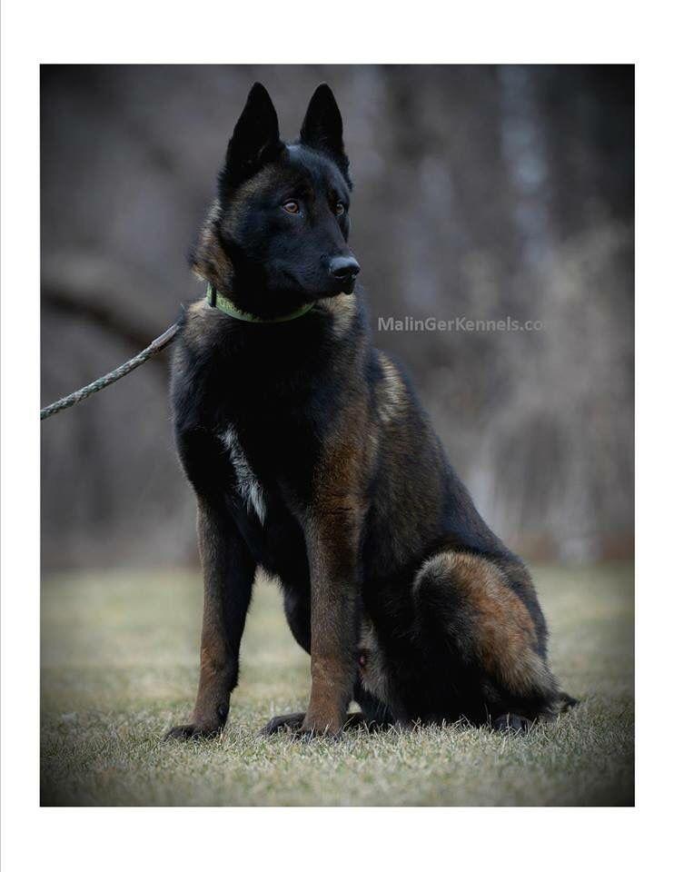 Dark Sable Belgian Malinois Malinger S Here Comes The Boom Aka Timber Belgian Malinois Dog Malinois Dog Belgian Malinois