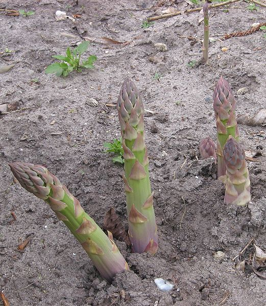 Companion Plants For Asparagus Are French And Mexican 400 x 300