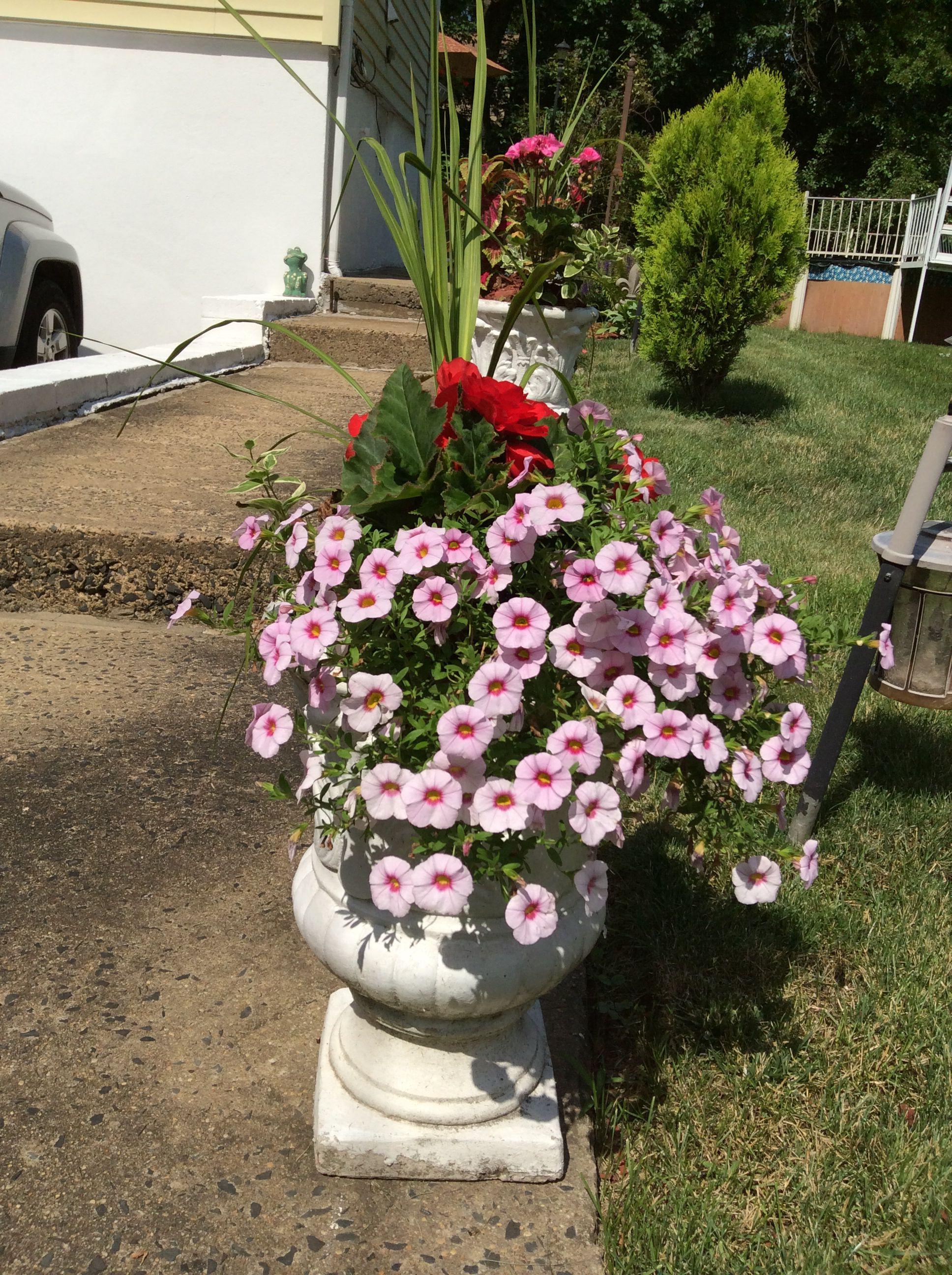 Urn, petunias and begonias.