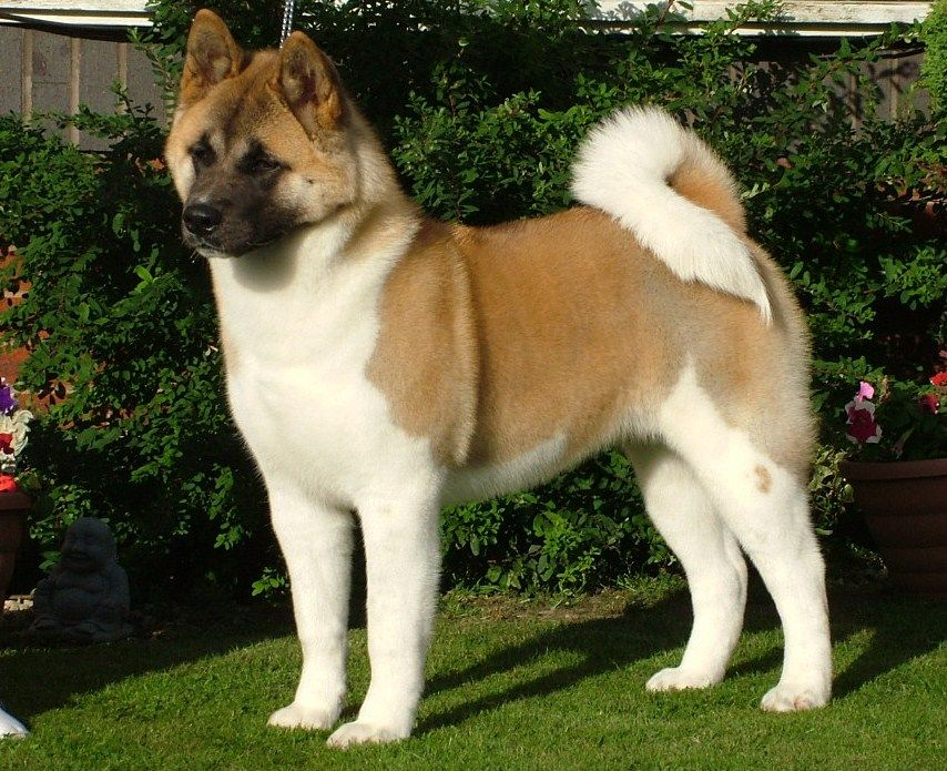 Akita Wallpapers Akita Dog Dog Breeds Best Guard Dogs