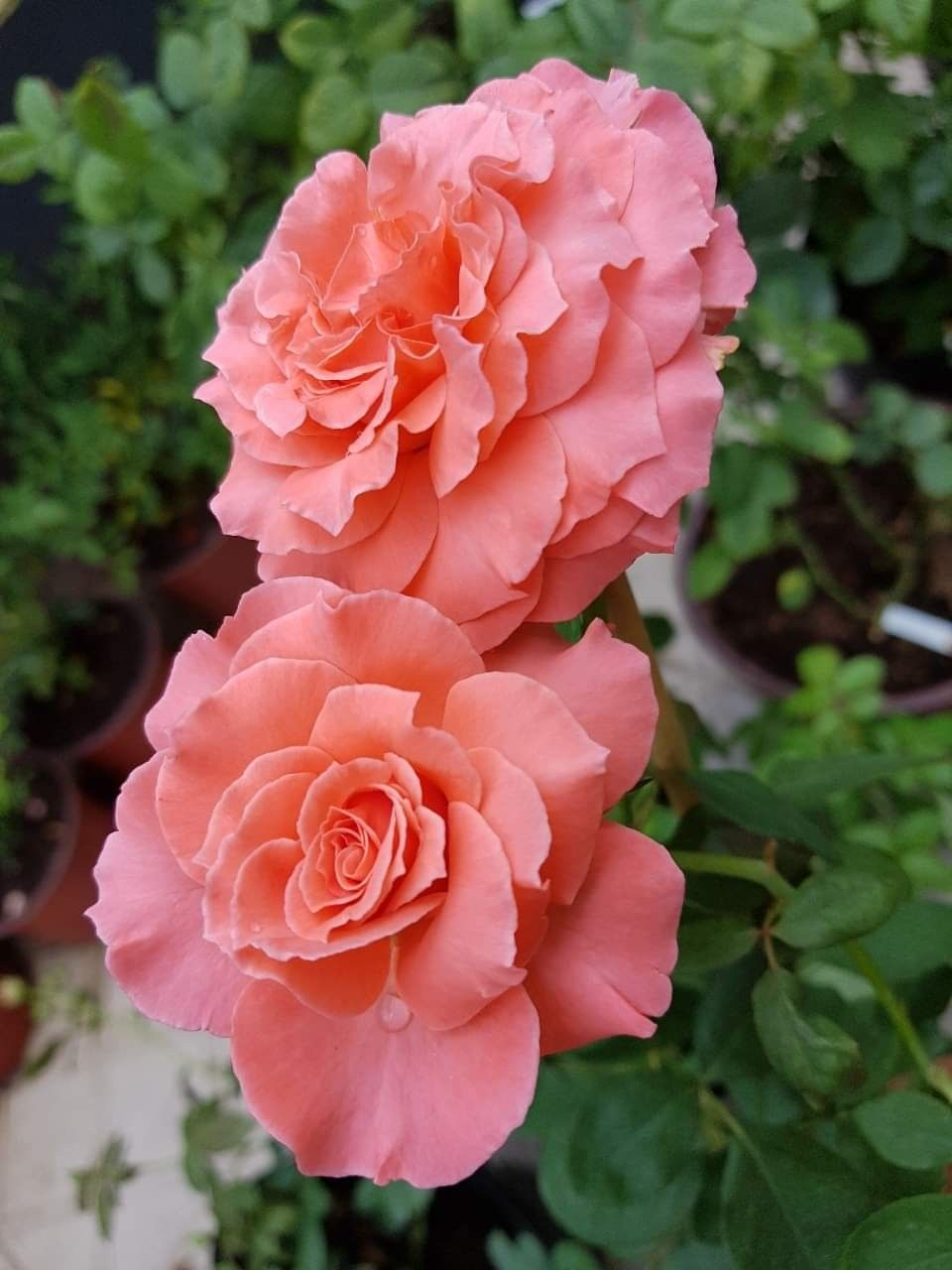 Pin By Kmlg On Flower In 2020 Beautiful Rose Flowers Hybrid Tea Roses Pretty Flowers