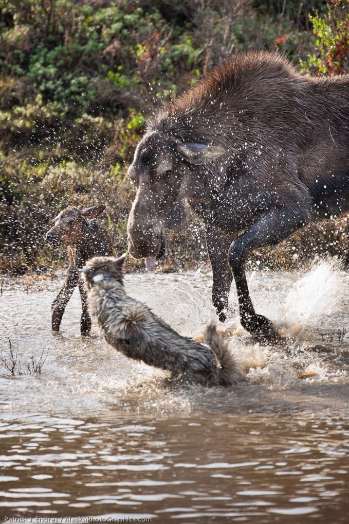 Cow Moose defending her calf from a wolf. (Who can actually catch a picture like this?)