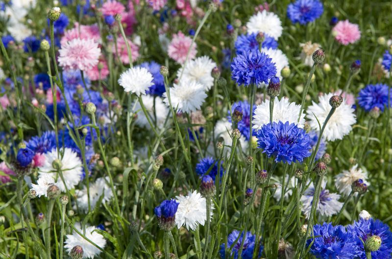 Bachelor S Button Is An Easy Blue Flower For Beginners Flower Garden Plans Bachelor Button Flowers Easiest Flowers To Grow