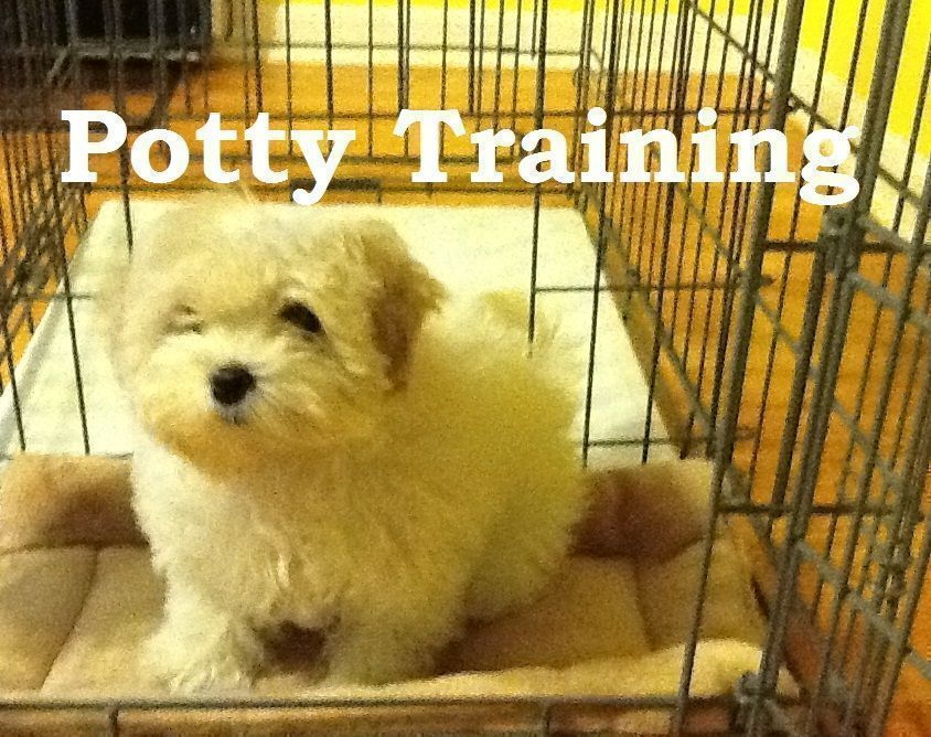Maltese Puppies How To Potty Train A Maltese Puppy Maltese House