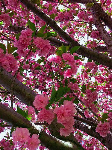 Kwanzan Cherry Tree Cherry Tree Beautiful Blooms Kwanzan Cherry