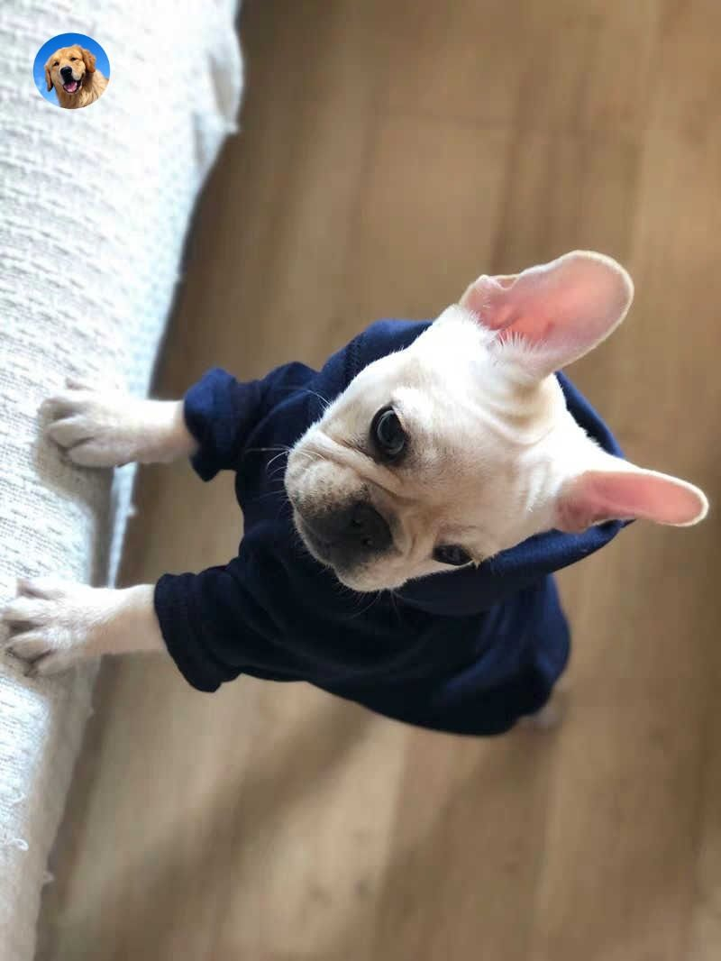 Cute French Bulldog The French Bulldog Is A Small Breed Of