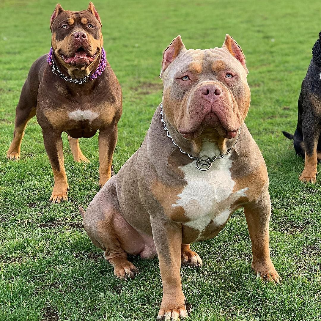 1 134 Likes 39 Comments Brownsbulliesuk Brownsbulliesuk On Instagram Coco Chanel Coco An In 2020 Bully Dog Bulldog Breeds Aggressive Dog