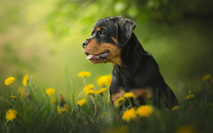 Download Wallpapers Rottweiler Dog Flowers Puppy Bokeh Pets
