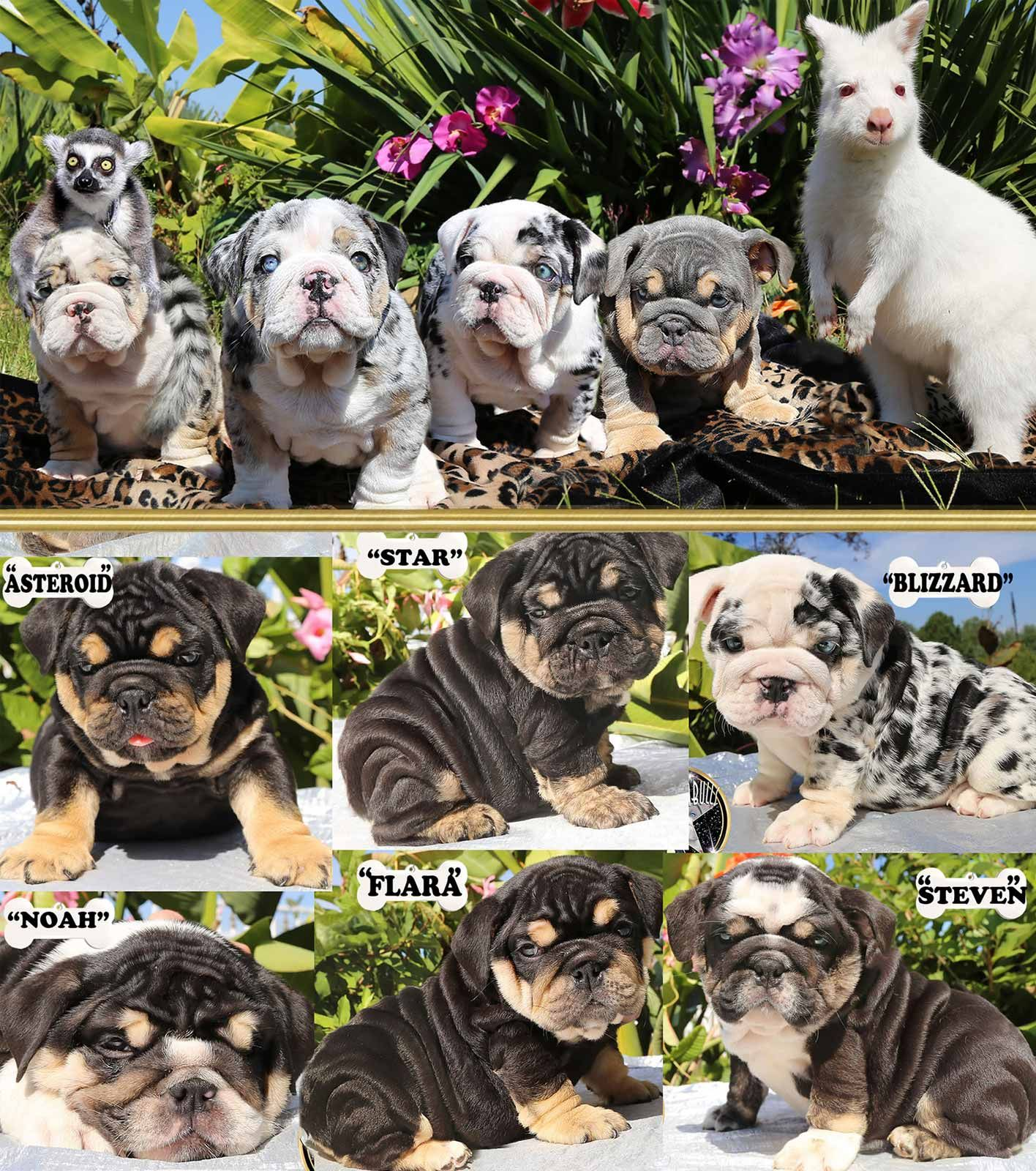 Shrinkabull S Tri Blue Merle English Bulldog Litter For Sale
